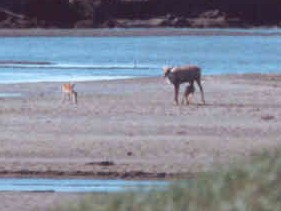 Caribou_and_calf
